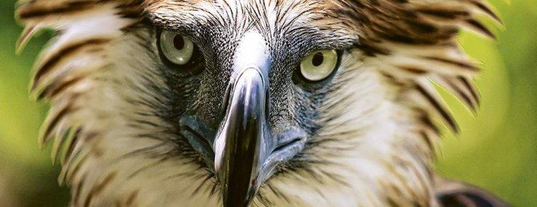 Le regard de  l'aigle philippin....