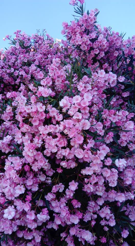 Le laurier fleur de mon voisin