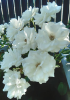 Les roses blanches de mon jardin....