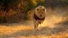 Les Lions courent à une vitesse jusqu'à 80 km.....