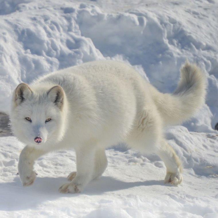 Le renard arctique.....