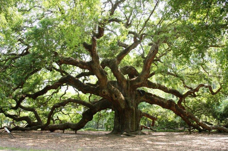 Angel Oak Tree, âgé de 1500 ans, à Charleston, en Caroline du Sud, USA....