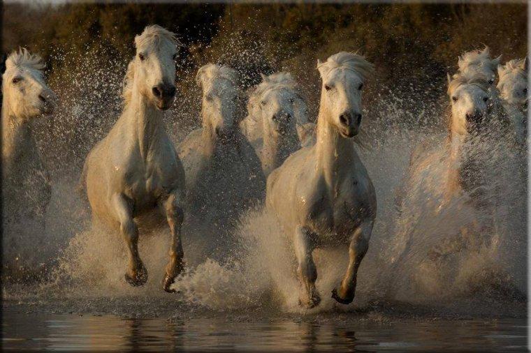 Les chevaux de Camargue, France....