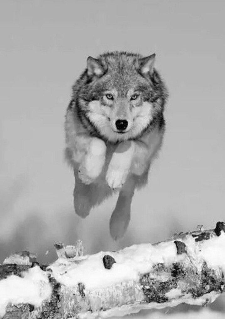 Loup en noir et blanc....