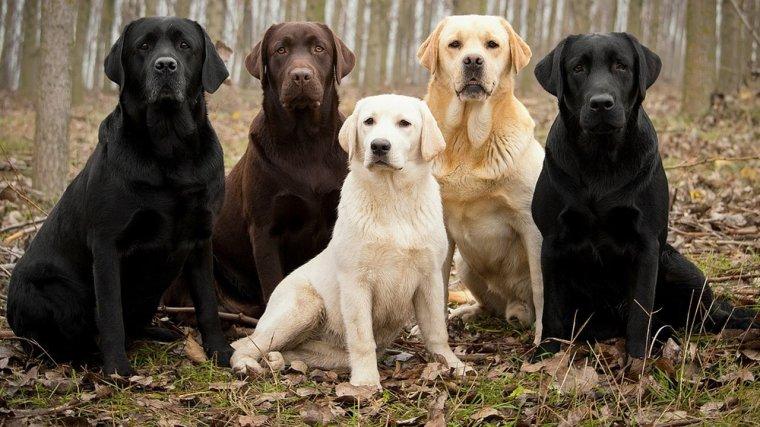 Labradors Retrievers....
