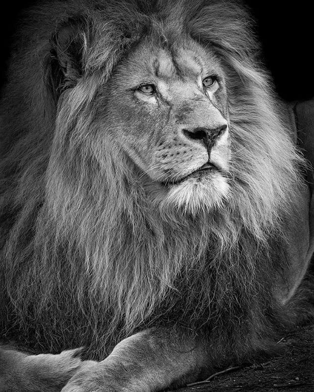 Le vieux Roi lion, devenu sage....
