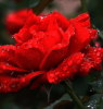 Rosée sur rose rouge rayonnante....