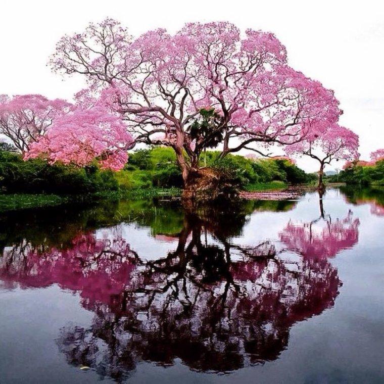 Réflexion de floraison rose.....