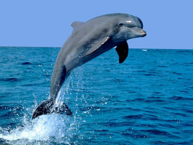 Le dauphin...