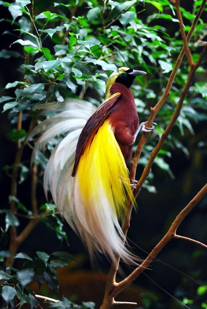 L'oiseau de paradis......