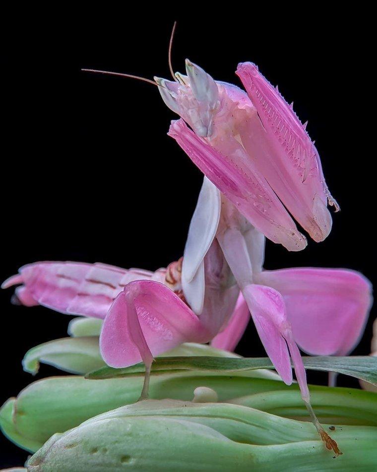 La mante orchidée rose....