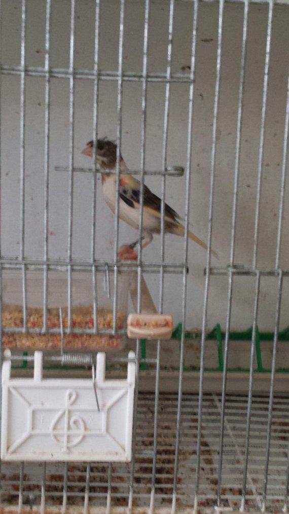 Canari arlequim português 2014 femelle