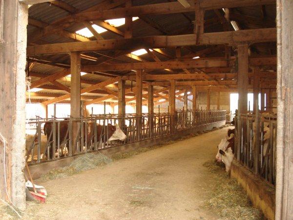 voici les vaches qui sont presser d'aller dans leur nouvelle maison=) le 15 octobre les robots seront mis en marche