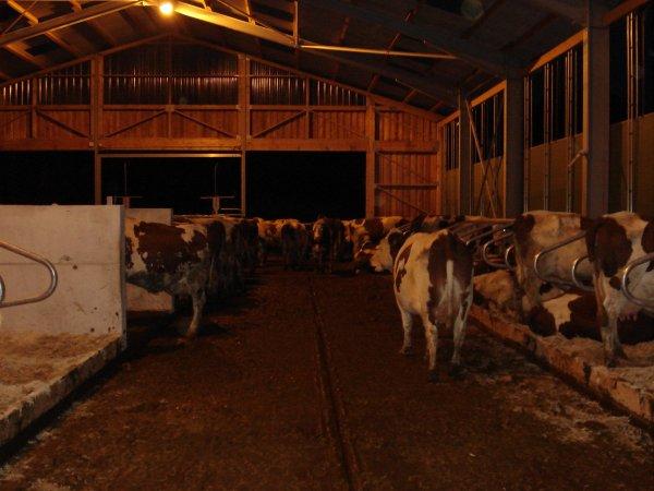 et voici les vaches dans le leur nouveau batiment
