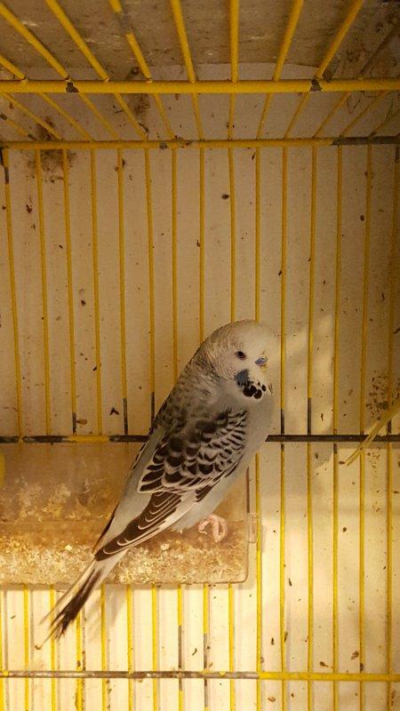 Periquito gris opalino