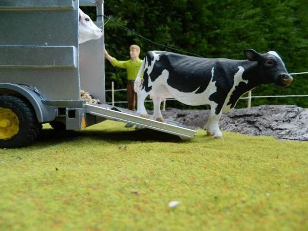 Aujourd'hui , on remet les vaches en patûre ...