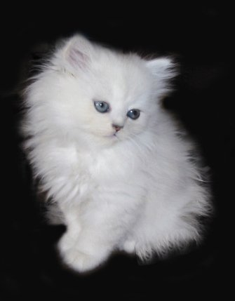 petit chat blanc blog de misscookaii. Black Bedroom Furniture Sets. Home Design Ideas