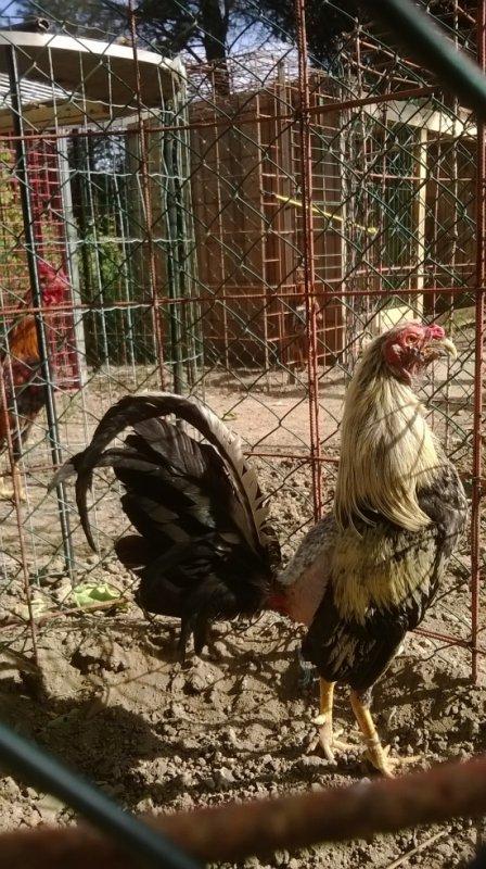 coq espagnol calcuta rilo