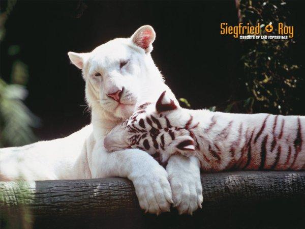 lionne et tigre blanc