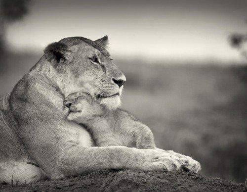 Images de lionceaux .