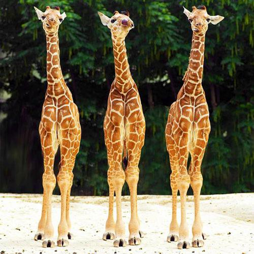 Images de girafons .