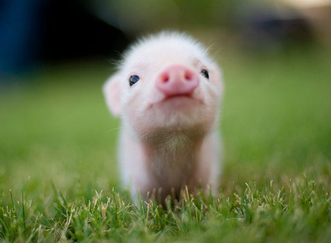 Images de petits cochons .