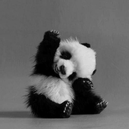 Images de petits pandas .
