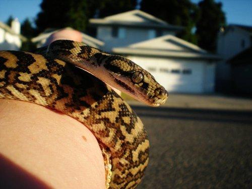 Images de petits serpent .