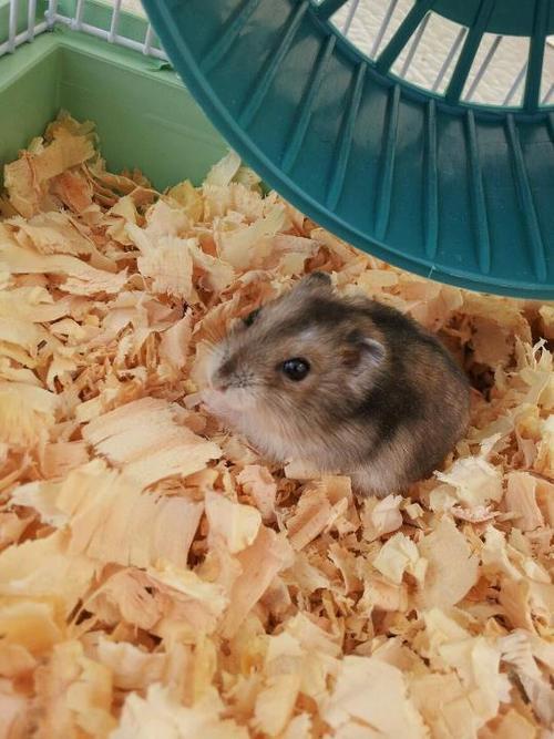 Images de petits hamster .