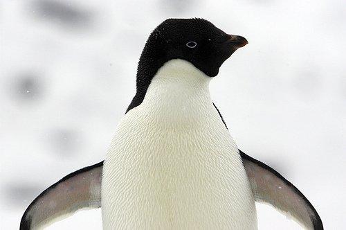 un pingouin, deux pingouin, trois pingouins, c'est la fête chez les pingouins.