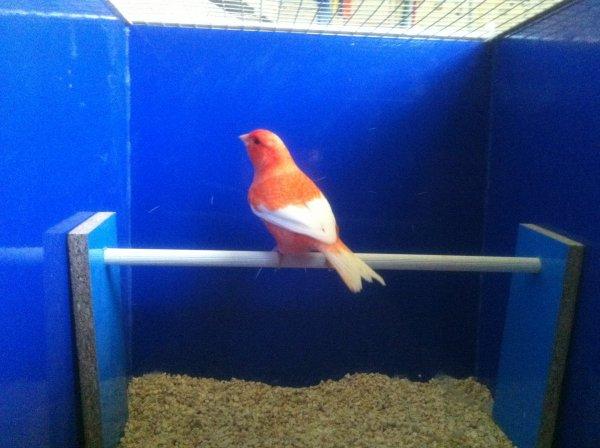 rosso brinato ala bianca portatore di rosso avorio