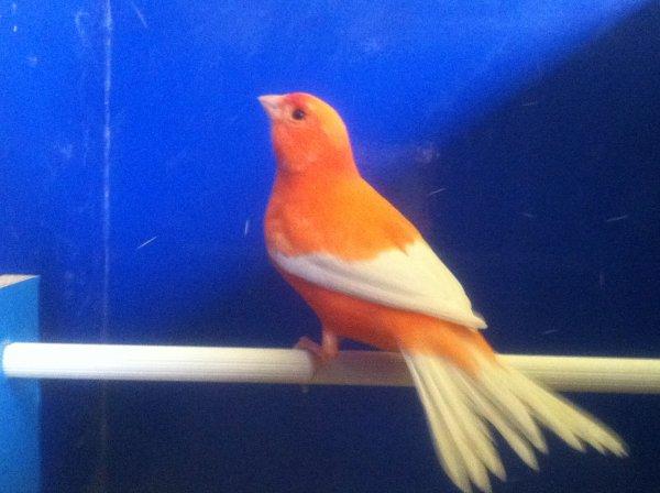 rosso avorio intenso ala bianca
