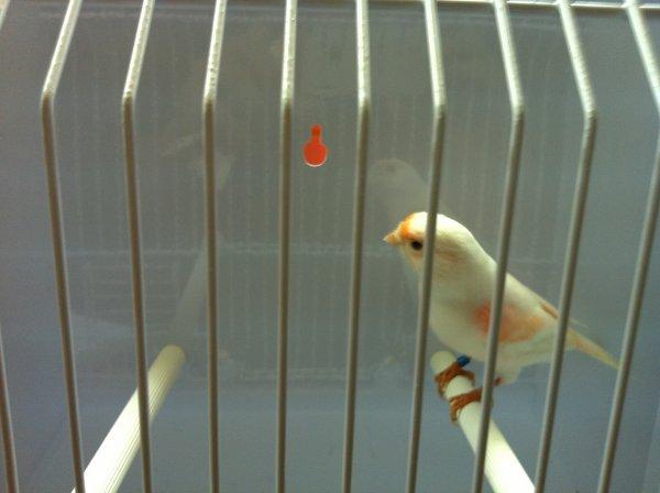alcune femmine rosso avorio mosaico linea maschile novelle