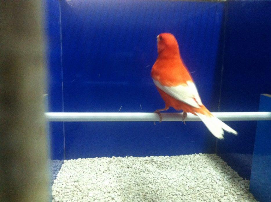 rosso intenso ala bianca