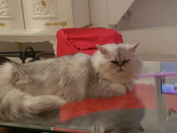 Ma petite Lou ... chatte persan