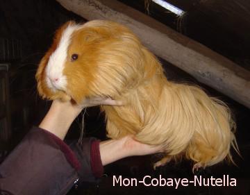Le plus gros Cochon d'Inde... - Bienvenue sur Mon-Cobaye-Nutella...