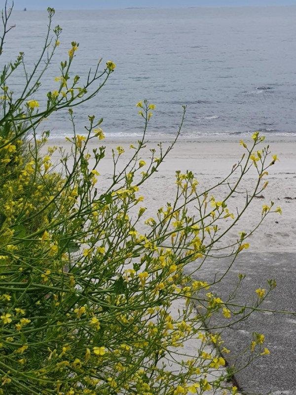 samedi 3 juin   Beg Meil et cap Coz 20°  les roses remplacent les rhodos à présent.