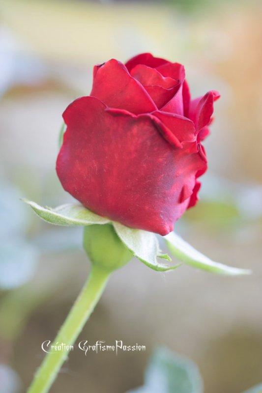 une rose pour mes ami(e)s