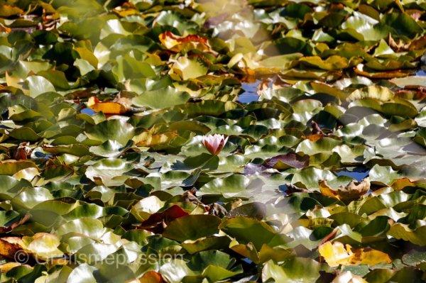 Un lac recouvert de nénuphars