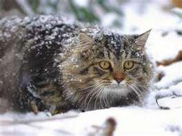 Des chats dans la neige