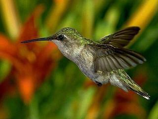 Le mouvement colibri