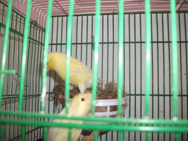 la femelle sur le nid