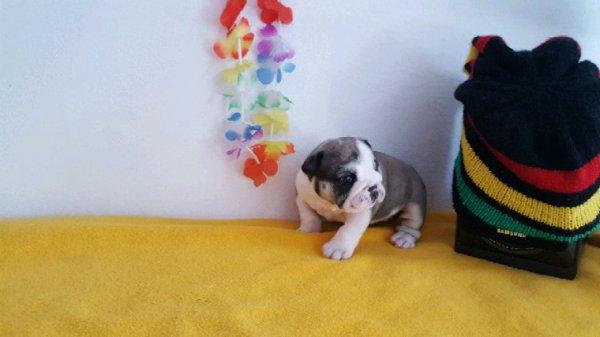 Femelle bulldog anglais réservé pour Martine