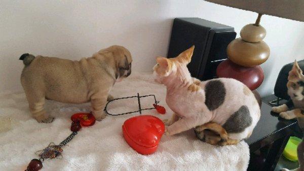 Femelle bulldog anglais disponible à la réservation