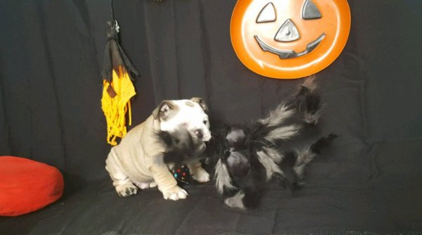 sa part en live chez dogs de choc spécial Halloween