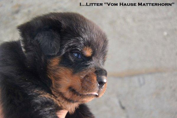 Chiots 23 jours ( nés le 28/07/2013 )de Beretta from house rotvis et Elvis von der Mühlbachstrasse (ADRK)