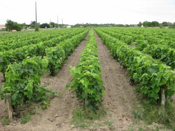L'île d'Oléron, la vigne et le phylloxéra
