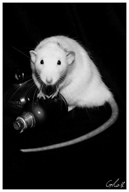 passionné de rats