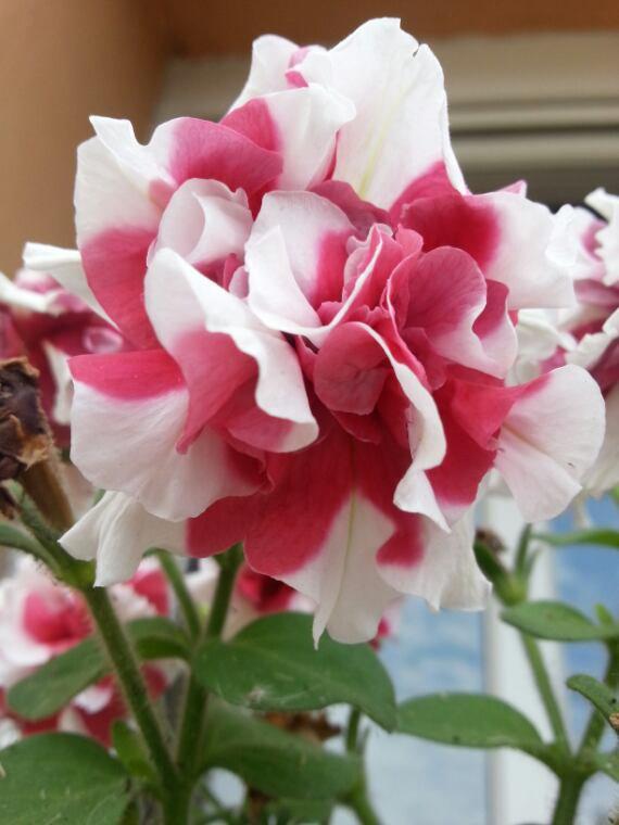 Mes magnifiques fleurs de mon partenaire Baumaux