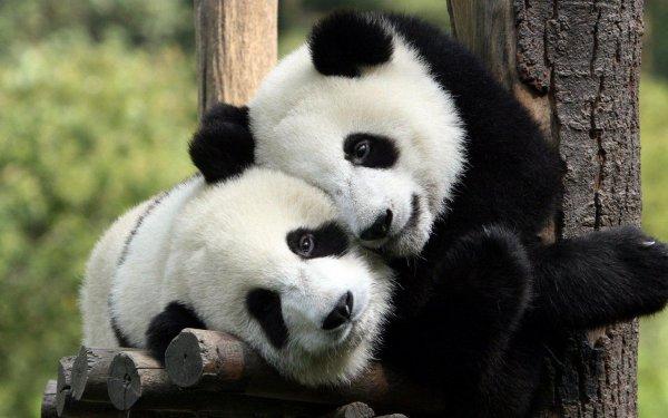 les chats,les pandas,les fennecs,les mangas.....ma VIE!!!!!!!!